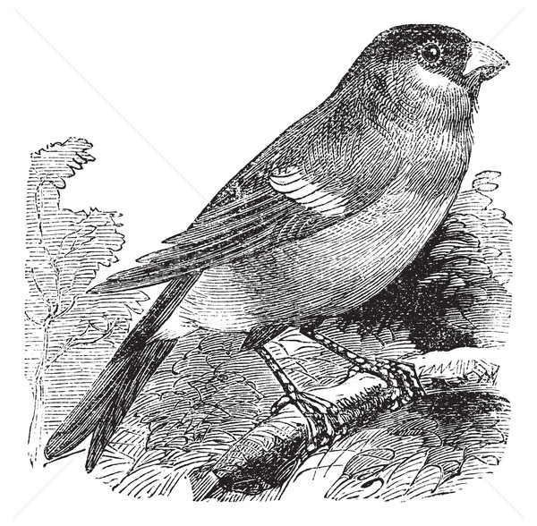 Eurasian Bullfinch or Pyrrhula pyrrhula,,bird, vintage engraving Stock photo © Morphart