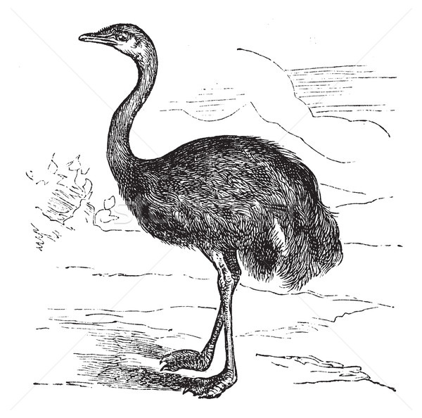 Common Rhea or Rhea americana, vintage engraved illustration Stock photo © Morphart