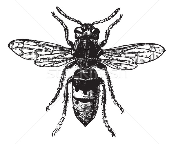 Fig 12. Wasp, vintage engraving. Stock photo © Morphart