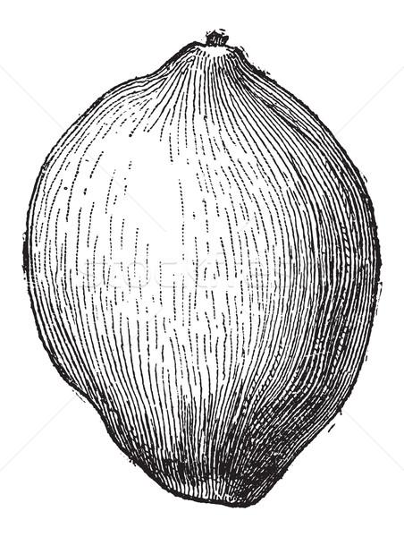 Coconut or Cocos nucifera, vintage engraving Stock photo © Morphart