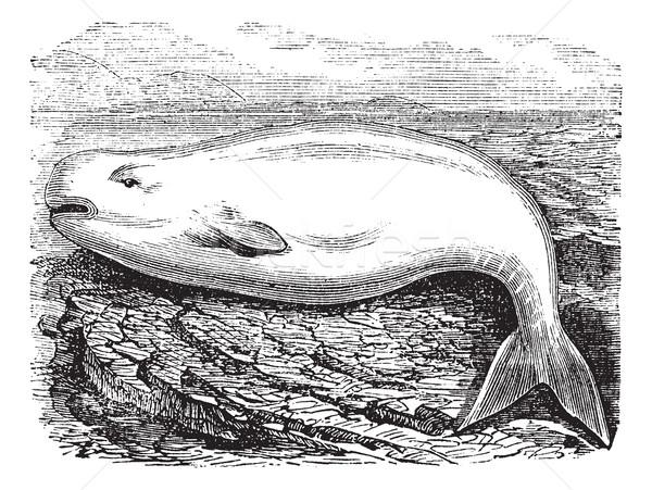 Сток-фото: кит · белый · Vintage · старые