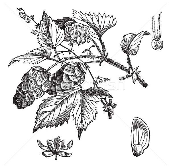 Common hop or Humulus lupulus vintage engraving Stock photo © Morphart