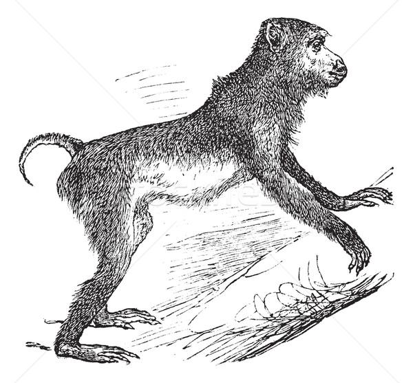 Pig-tailed macaque or Macaca nemestrina vintage engraving Stock photo © Morphart
