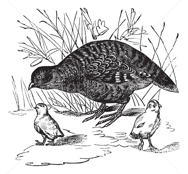 Grey Partridge or Perdix perdix, vintage engraving Stock photo © Morphart