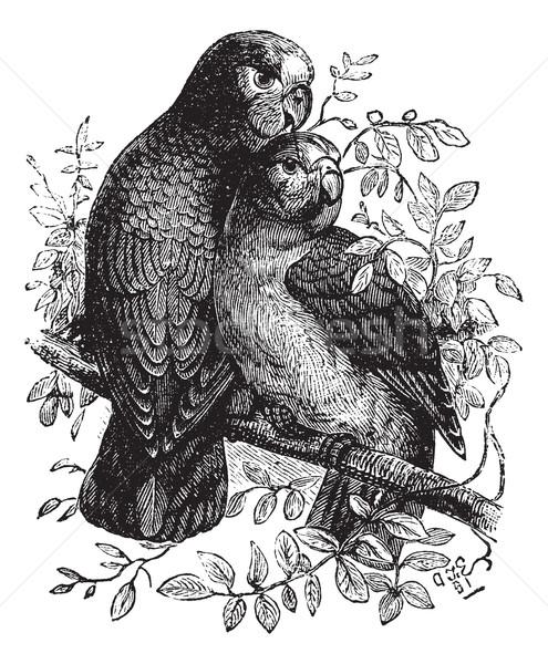 Rose-ringed Parakeet or Ringnecked Parakeet or Psittacula kramer Stock photo © Morphart