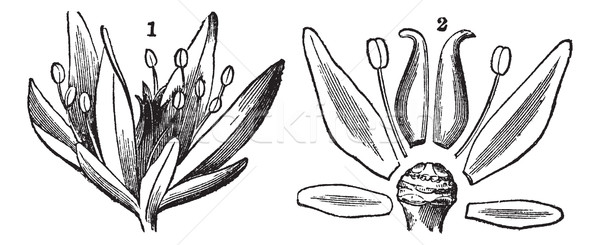 Parts of a Flower, vintage engraving Stock photo © Morphart