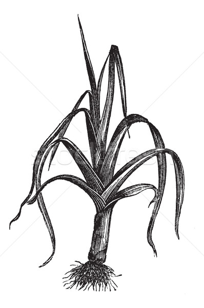 Leek or Allium ampeloprasum porrum, vintage engraving Stock photo © Morphart