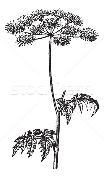 Chaerophyllum temulum or Rough Chervil vintage engraving Stock photo © Morphart