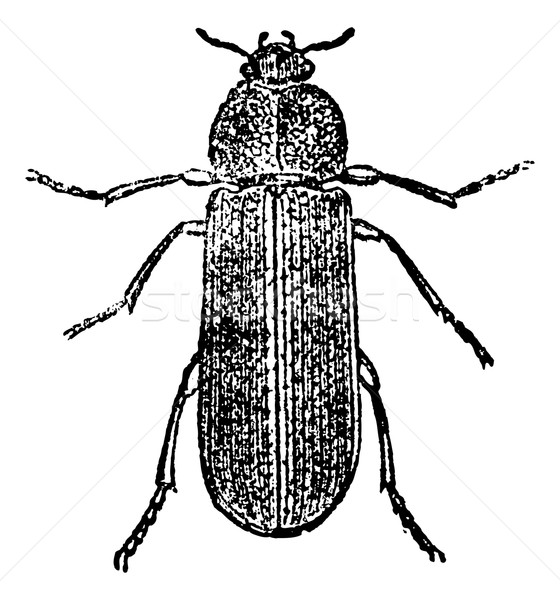 Cis Beetle, vintage engraving. Stock photo © Morphart
