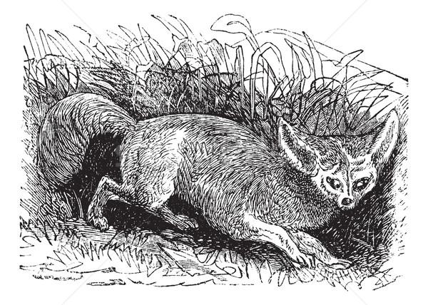 Bat-eared Fox or Otocyon megalotis, vintage engraving Stock photo © Morphart