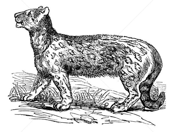 Snow leopard, Uncia uncia, Leopardus uncia or Panthera uncia, vi Stock photo © Morphart
