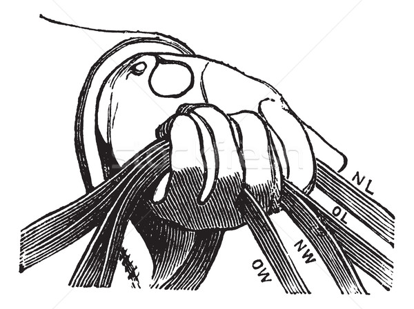 Four reins of horse riding in hand vintage engraving Stock photo © Morphart