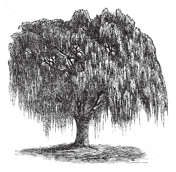 Babylon Willow or Salix babylonica vintage engraving Stock photo © Morphart