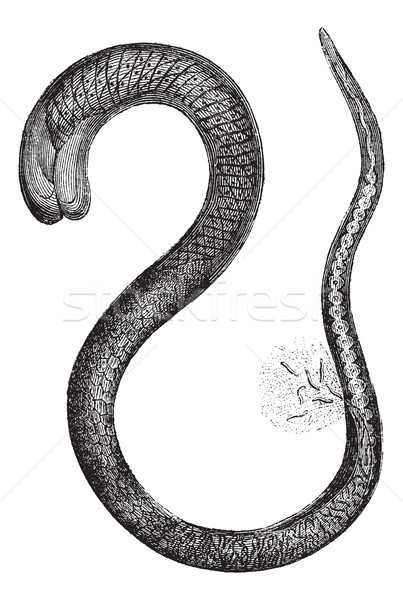 Fig. 2. Trichinella adult female, magnified 150 times, vintage e Stock photo © Morphart