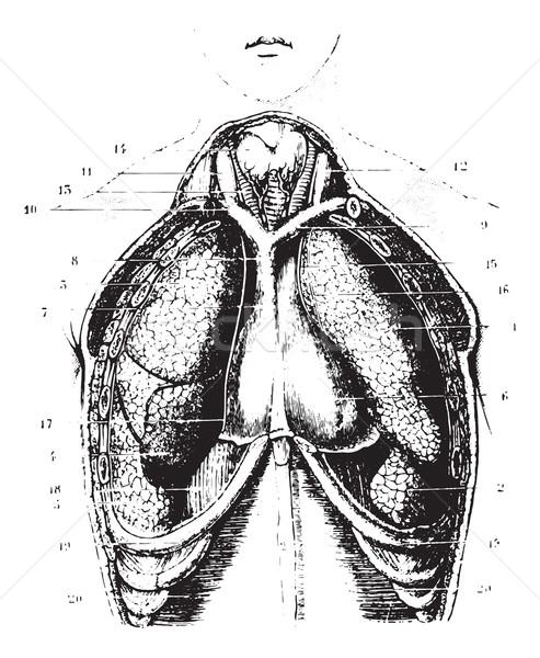 胸 を見る ヴィンテージ 刻ま 実例 ストックフォト © Morphart