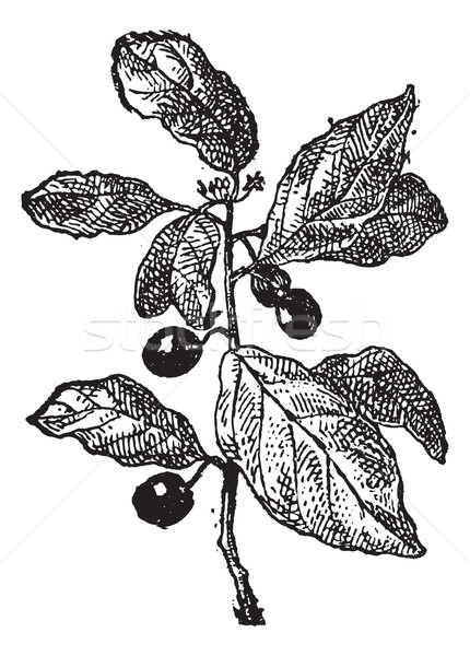 Rhamnus or Buckthorns, vintage engraving. Stock photo © Morphart