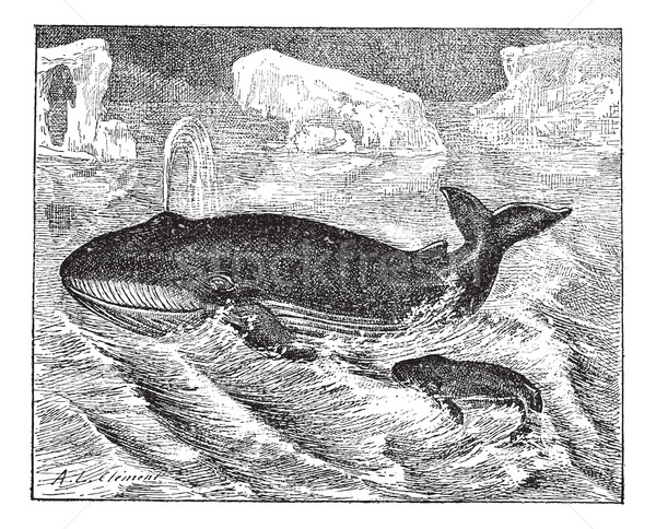 Stock photo: Whale in ocean, vintage engraving.