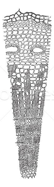 стебель поперечное сечение Vintage иллюстрация Сток-фото © Morphart