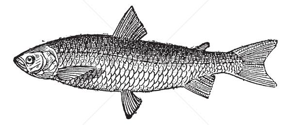 European Whitefish or Coregonus lavaretus, vintage engraving Stock photo © Morphart