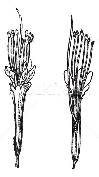 Nere or Parkia biglobosa, vintage engraving Stock photo © Morphart