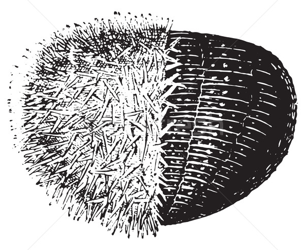 Urchin or Sea urchins, vintage engraving. Stock photo © Morphart