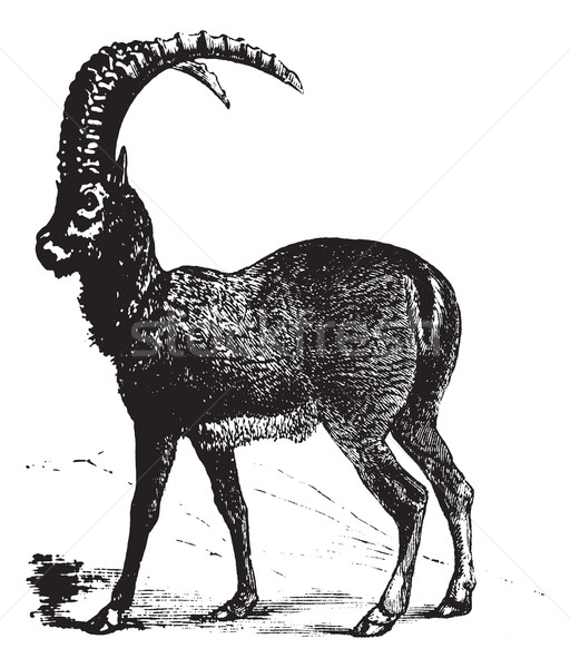 Alpine Ibex or Capra ibex, goat, vintage engraving. Stock photo © Morphart