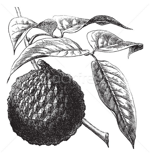 Lychee or Litchi chinensis vintage engraving Stock photo © Morphart