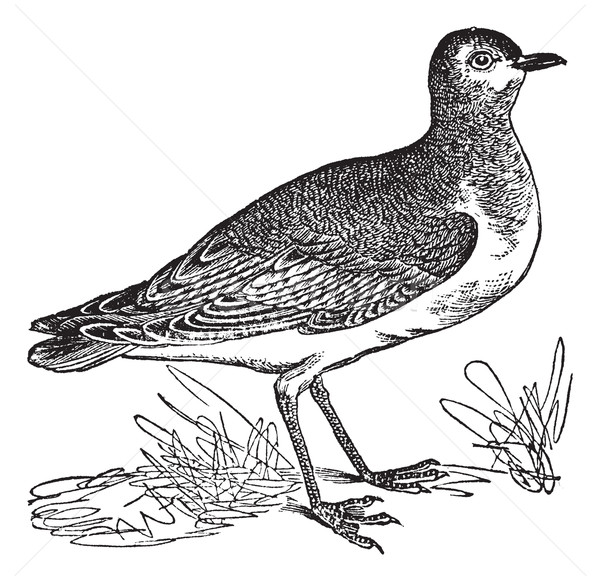 Golden Plover or Pluvialis sp., vintage engraving Stock photo © Morphart