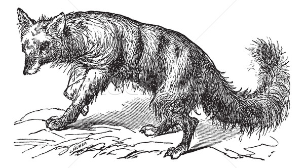 Aardwolf or Proteles cristatus vintage engraving Stock photo © Morphart