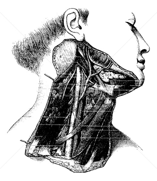 Deep Lateral Region of the Human Neck, vintage engraving Stock photo © Morphart