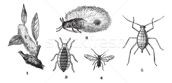 Aphids or plant lice, 1. Woolly adelgid. 2. Woolly adelgid. 3. R Stock photo © Morphart