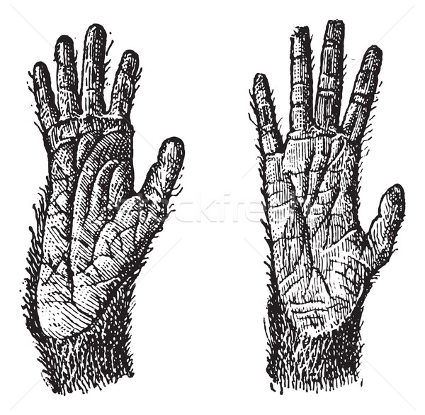 Two hands of Quadrumana primates vintage engraving Stock photo © Morphart
