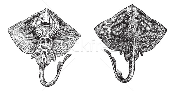 Thornback ray or Raja clavata vintage engraving Stock photo © Morphart