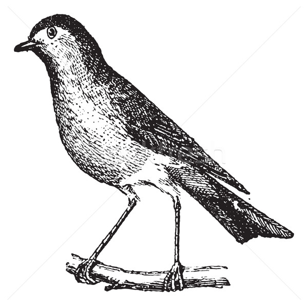 Robin perched on branch, vintage engraving. Stock photo © Morphart