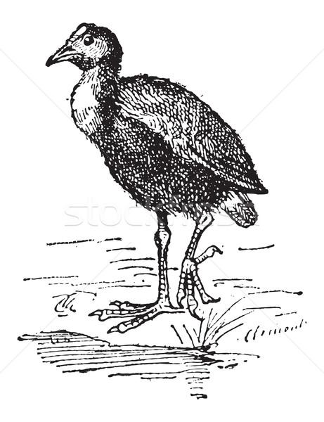Moorhen or Gallinula sp., vintage engraving Stock photo © Morphart