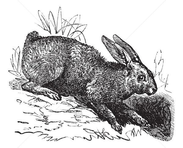 Northern hare (Lepus americanus) or Snowshoe Hare vintage engrav Stock photo © Morphart