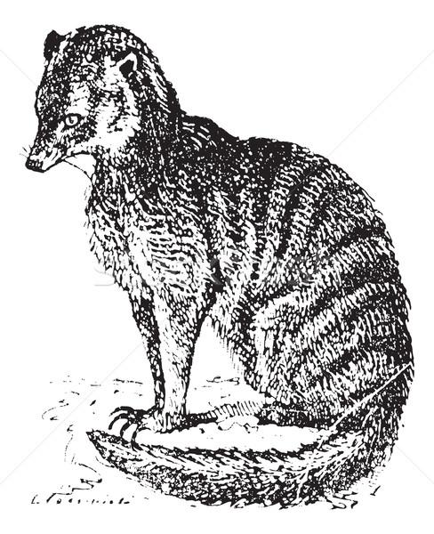 Meerkat or Suricate, vintage engraving. Stock photo © Morphart