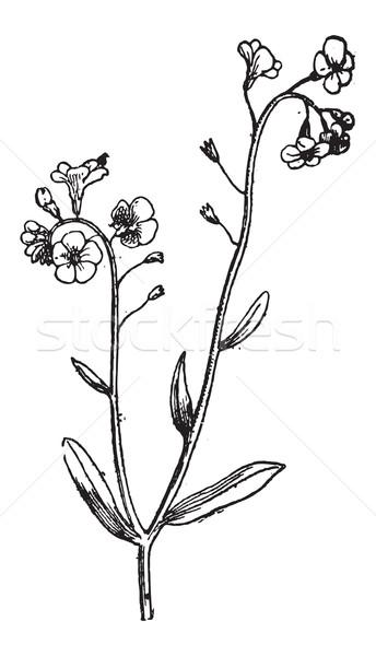 Forget-me-not or Myosotis sp., vintage engraving Stock photo © Morphart