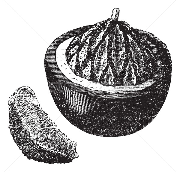 Brazil nut or Bertholletia excelsa, fruit, vintage engraving. Stock photo © Morphart