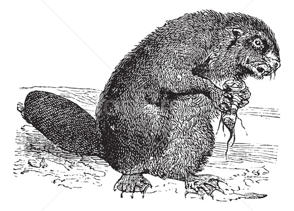 Beaver or rodent vintage engraving Stock photo © Morphart
