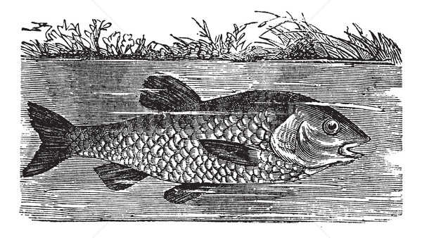 Leuciscus cephalus or European chub, vintage engraving Stock photo © Morphart