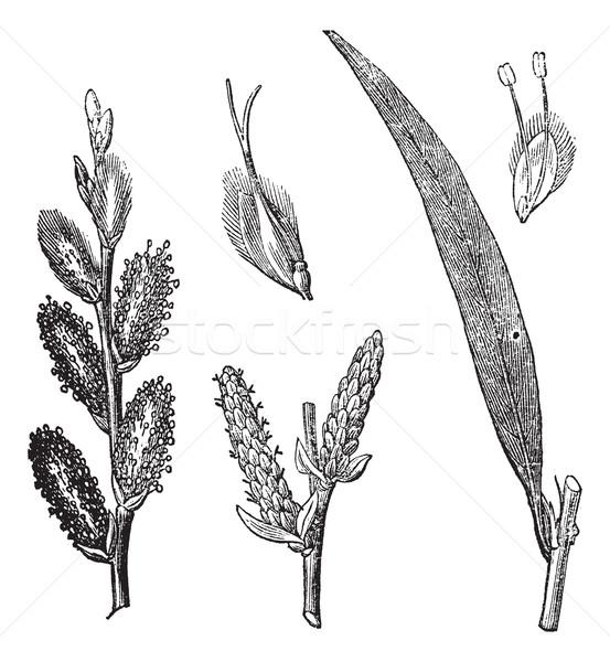 Common Osier or Salix viminalis vintage engraving Stock photo © Morphart