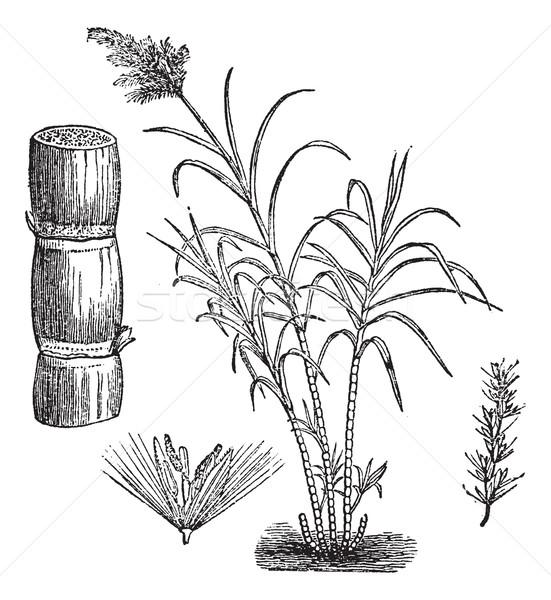 Zuckerrohr Jahrgang Gravur graviert Illustration Enzyklopädie Stock foto © Morphart