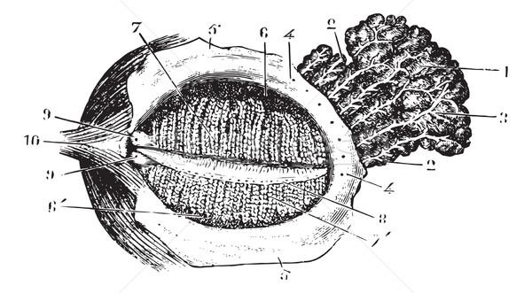 深い まぶた 腺 ヴィンテージ 彫刻 刻ま ストックフォト © Morphart