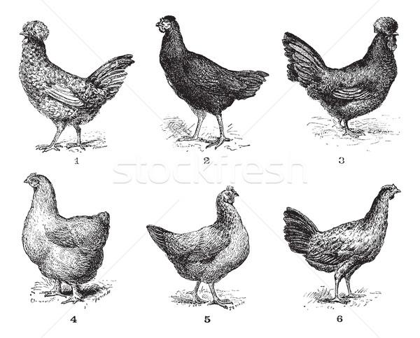 Hens, 1. Houdan chicken. 2. Hen the Arrow. 3. Hen Crevecoeur. 4. Stock photo © Morphart