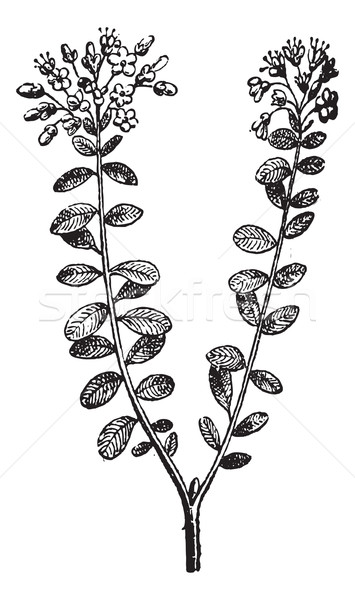 Wild Rosemary or Rhododendron tomentosum, vintage engraving Stock photo © Morphart