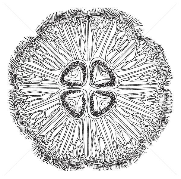 Jellyfish or Aurelia vintage engraving Stock photo © Morphart