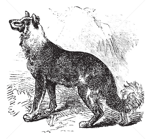 Belgian Shepherd vintage engraving Stock photo © Morphart