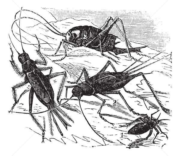 1.Wood cricket (Acheta vittata) 2.Field cricket (Acheta campestr Stock photo © Morphart