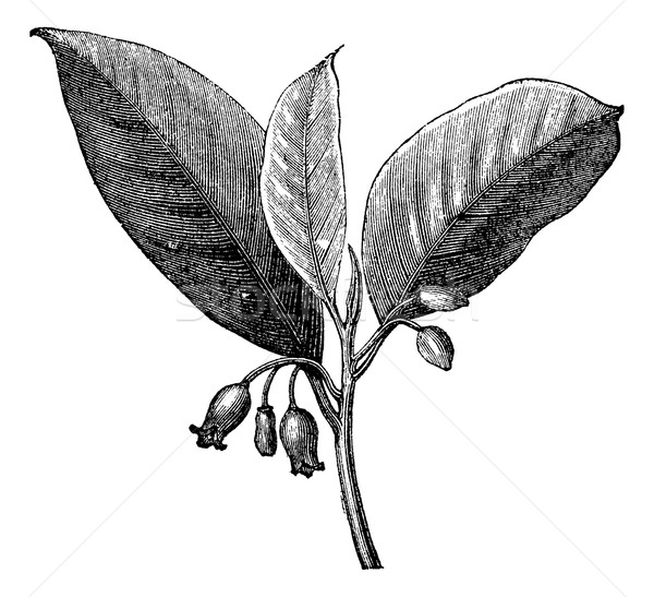 Nutmeg (Myristica fragrans), vintage engraving Stock photo © Morphart
